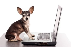 Portrait of a chihuahua dog in front of a laptop